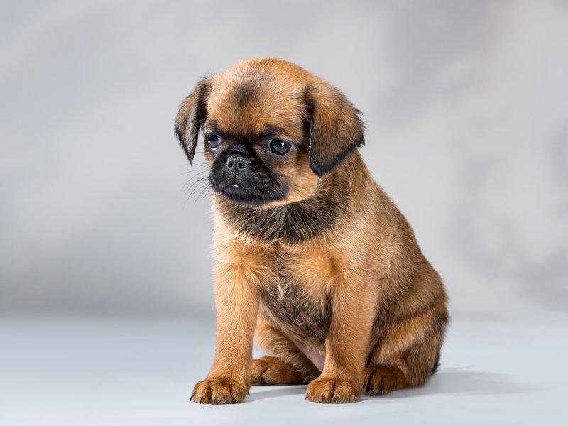грифон собака фото брабансон мультиварке это