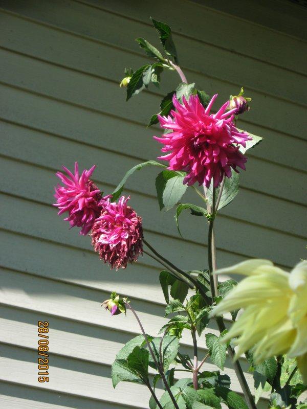 Купить садовые цветы viewtopic php купить уральские розы в верхней пышме