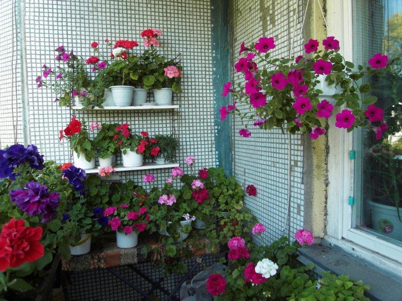 Цветы для балкона западная сторона.