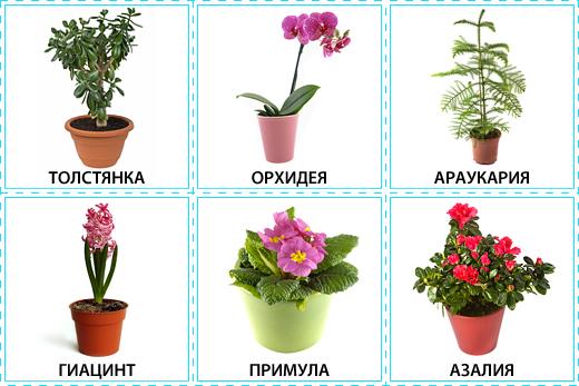 Картинки комнатных цветов с названиями для подготовительной группы