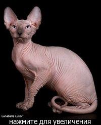 Мама голубой поинт от привозного кота из Тайланда, папа голубой минк.