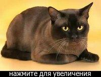 Бурманская кошка - это компактное животные изящного телосложения, с хорошо развитой мускулатурой. .