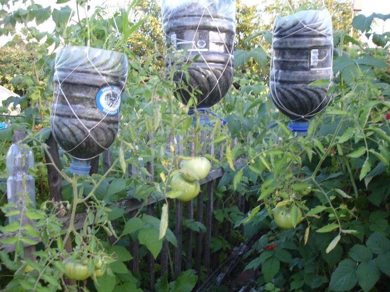 Выращивание огурцов в бутылках 518