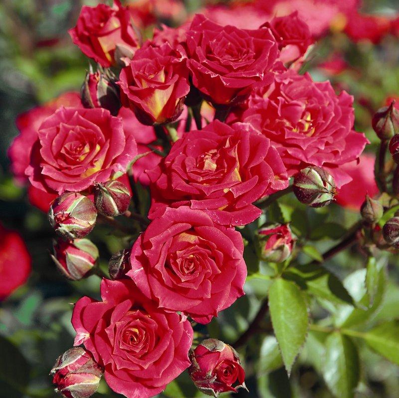 молодости бордюрные розы сорта фото с названиями всегда