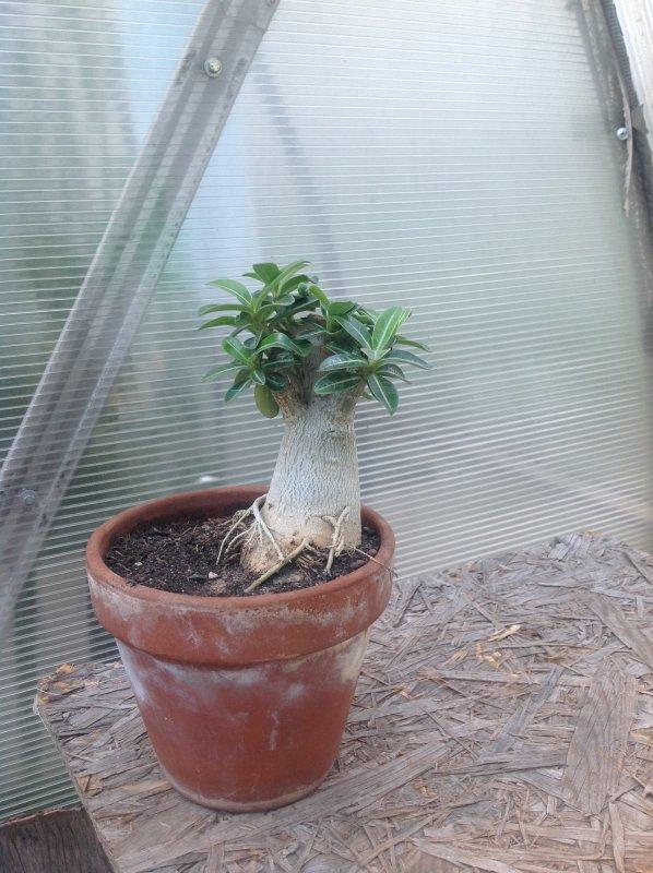 лист прищипка адениума пошаговое фото крючки для банных