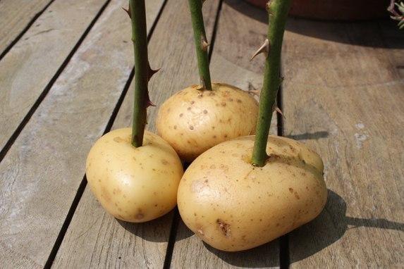 Выращивание розы из букета в картошке 75